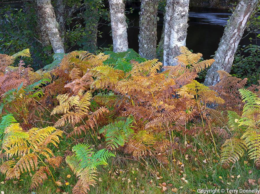 Western Highlands, Scotland: Detail of birch trunks and autumn colored ferns in Glen Strathfarrar