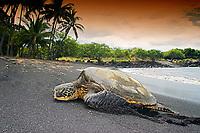 green sea turtle, Chelonia mydas, basking in the sun, Punaluu or Punalu`u Black Sand Beach, Big Island, Hawaii, USA, Pacific Ocean