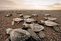 olive ridley sea turtle, Lepidochelys olivacea, hatchlings, Ostional, Guanacaste Province, Costa Rica, Pacific Ocean