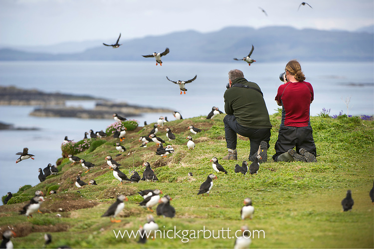 Photographing Atlantic Puffins (Fratercula arctica) flying on to the cliff top and gathering around burrows. Isle of Lunga, Treshnish Isles, Isle of Mull, Scotland.
