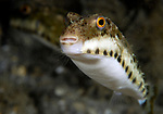bandtail puffer (Sphoeroides spengleri) is a species in the family Tetraodontidae