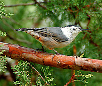 Adult male white-breasted nuthatch on juniper tree