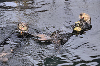 Sea Otter, Enhydra lutris nereis, Endangered Status, eating mussels, Montery Bay, California, USA