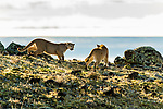 Mountain Lion (Puma concolor) females facing off, Torres del Paine National Park, Patagonia, Chile