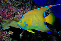 Queen angelfish, Holocanthus ciliaris, captive