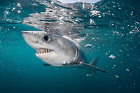 porbeagle shark, Lamna nasus (c,dm) Nova Scotia, Canada (North Atlantic Ocean)