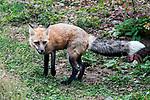 Red fox full body shot standing facing left.