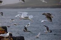 Eismöwe, im Flug, Flugbild, fliegend, Eismöve, Eis-Möwe, Eis-Möve, Möwe, Möwen, Larus hyperboreus, glaucous gull, flight, gull, gulls, Le Goéland bourgmestre, Island, Iceland