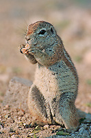 Cape Ground Squirrel ( Xerus inauris), adult eating, Namibia, Africa