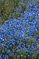Nemophila menziesii,  Baby Blue Eyes flowering native wildflowers Southern California Montane Botanic Garden
