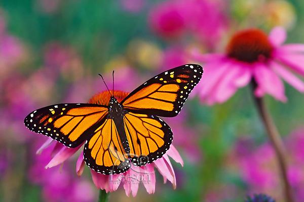 Px248  Monarch butterfly (Danaus plexippus) on purple coneflower.  Summer.