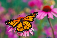 Px248  Monarch butterfly (Danaus plexippus) on purple coneflower.  Summer.