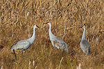 Sandhill cranes feeding in a field at Crex Meadows (northwest Wisconsin).