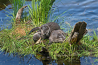 Northern River Otter (Lontra canadensis) pups play on grassy log along edge of lake.  Western U.S., summer..