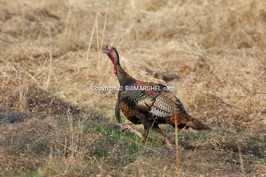 01225-077.02 Wild Turkey (Digital) eastern tom is running across field.  H3L1
