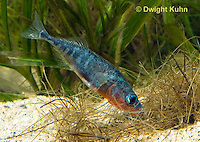 1S22-541z  Male Threespine Stickleback shaping nest by pushing plant materials with it mouth, mating colors showing bright red belly and blue eyes,  Gasterosteus aculeatus,  Hotel Lake British Columbia