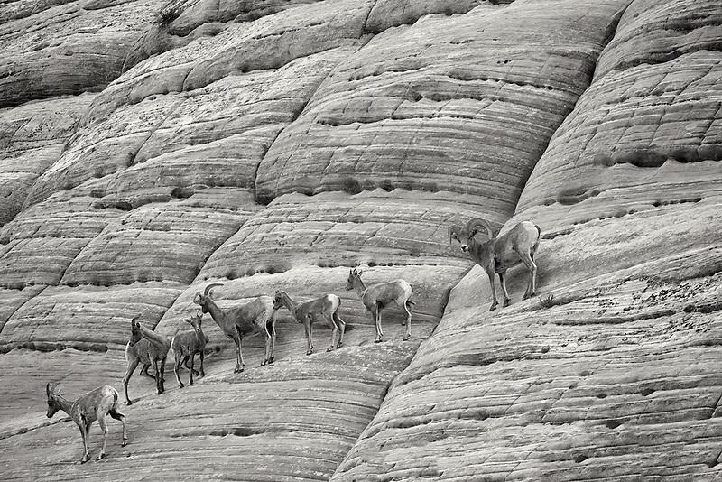Bighorn Sheep on Checherboard Mesa. Zion National Park, UT