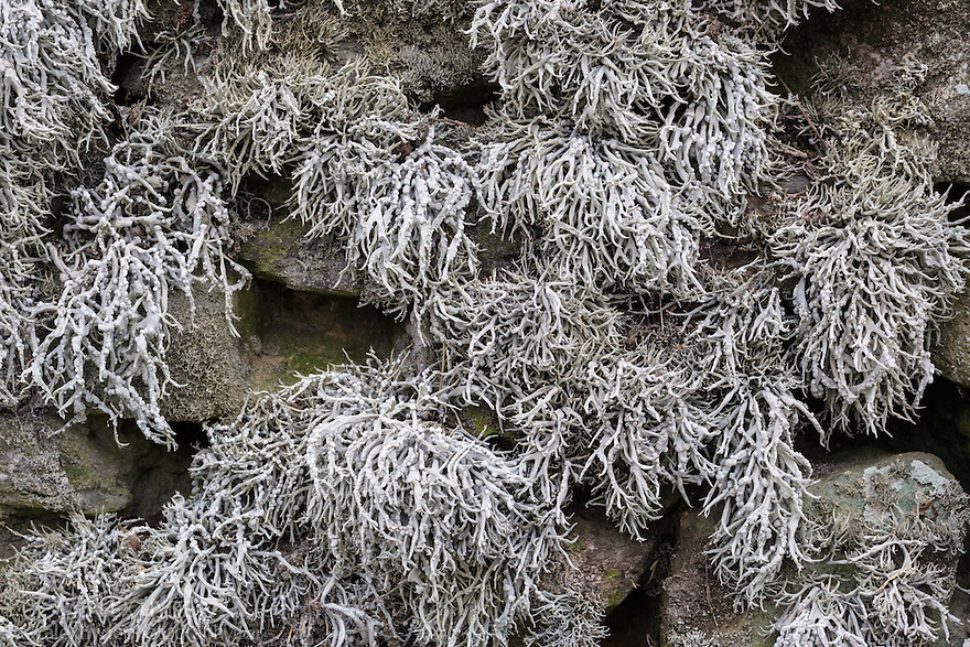 Sea Ivory lichen (Ramalina siliquosa) growing on coastal dry stone wall. Pembrokeshire, Wales, UK. January.