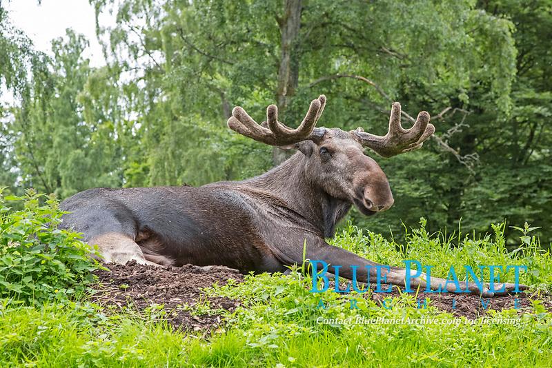 European elk (Alces alces) lies on the ground, Sweden, Europe