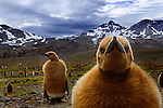King Penguin chicks, South Georgia Island, UK<br />