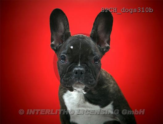 Xavier, ANIMALS, dogs, photos(SPCHdogs310b,#A#) Hunde, perros