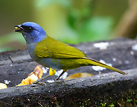 Male blue-capped tanager