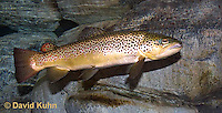 """1215-0902  Brown trout or Sea trout, Salmo trutta fario """"Introduced species to the United States from Europe"""" © David Kuhn/Dwight Kuhn Photography"""