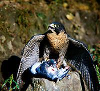 Wanderfalke, mit Beute, erbeuteter Taube, Haustaube, Wander-Falke, Falke, Falken, Falco peregrinus, peregrine, peregrine falcon, Le Faucon pèlerin