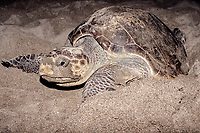 olive ridley sea turtle, Lepidochelys olivacea, laying eggs on Mexiquillo Beach, Mexico, Pacific Ocean