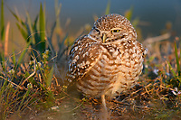 Burrowing Owl (Athene cunicularia). Cape Coral, Florida. March.