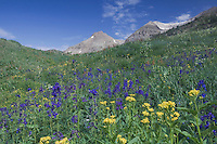 Mountains and wildflowers in Yankee Boy Basin,Tall Larkspur, Arrowleaf Ragwort,Ouray, San Juan Mountains, Rocky Mountains, Colorado, USA, July 2007