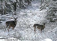 "1228-07nn  White-tailed Deer ""Small Herd in Winter"" - Odocoileus virginianus - © David Kuhn/Dwight Kuhn Photography."