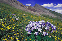 Mountains and wildflowers in alpine meadow,Blue Columbine,Colorado Columbine,Aquilegia coerulea, Alpine Avens, Ouray, San Juan Mountains, Rocky Mountains, Colorado, USA, July 2007