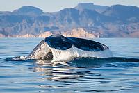 gray whale, Eschrichtius robustus, fluke, Baja California, Mexico, Gulf of California, Sea of Cortez, Pacific Ocean