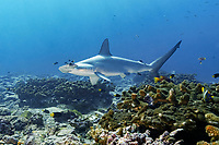 scalloped hammerhead, Sphyrna lewini, at cleaning station, Malpelo Nature Reserve, Malpelo Island, Columbia, Pacific Ocean