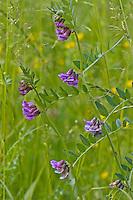 Zaun-Wicke, Zaunwicke, Vicia sepium, bush vetch,La Vesce des haies, Vesce sauvage