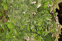 Echte Lungenflechte, Lungen-Flechte, Lobaria pulmonaria, lungwort, lung lichen, oak lungwort, am Stamm eines Baumes