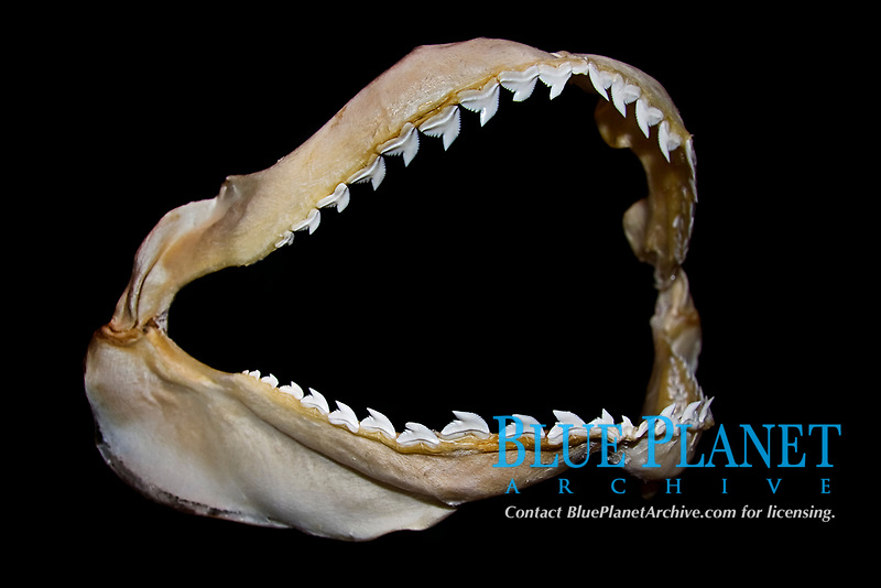 teeth and jaws of tiger shark, Galeocerdo cuvier - hooked cusps hold prey and serrated edges cut out bites, differences in shark tooth size and shape reflect what and how they prey on, Hawaii, USA, Pacific Ocean