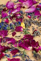 Blüten, Blumen, Kräuter, Kräuter sammeln, Ernte, Kräuterernte, Blütenblätter, essbare Blüten werden getrocknet, trocknen. Echter Lavendel, Lavandula angustifolia, Lavender. Kartoffel-Rose, Kartoffelrose, Runzel-Rose, Runzelrose, Rose, Rosa rugosa, Japanese Rose. Königskerze, Verbascum spec., Mullein. Wegwarte, Zichorie, Cichorium intybus, Chicory. Phlox, Staudenphlox, Flammenblume, Phlox spec.. Blossom, blossoms, flower, flowers, bloom, blooms, petal, petals.
