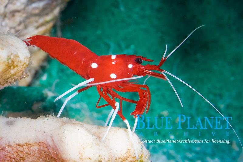 blood red fire shrimp, fire shrimp,blood shrimp,scarlet cleaner shrimp, white-booted cleaner shrimp (Lysmata debelius) (c)