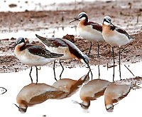 Group of female Wilson's phalaropes in breeding plumage. This was part of a large flock of all female birds in a flooded field near College Station, TX in spring.