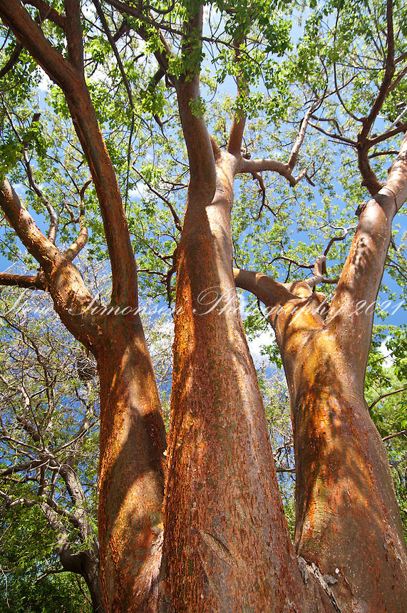 Turpentine Tree (Bursera simaruba) Torchwood Family<br /> Other common names for this tree includes: gumbo, limbo, tourist nose and living fence post tree.<br /> Virgin Islands National Park<br /> St. John, U.S. Virgin Islands