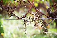 Stems left on the vine after mechanical harvest. Chateau Haut Chaigneau, Lalande de Pomerol, Bordeaux, France