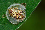 Pictured: Golden tortoise beetle ( Charidotella sexpunctata)<br /> <br /> A series of spellbinding close-up images of insects make them look like aliens.  Amateur photographer Marcus Kam Seong Sit captured the macro shots of a range of bugs including the longhorn beetle and bird dung spider. <br /> <br /> The pictures detail the intricate features and patterns of the insects - from the vibrant green of a dragon head caterpillar to the delicate hairs on an orb web spider.  SEE OUR COPY FOR DETAILS.<br /> <br /> Please byline: Marcus Kam/Solent News<br /> <br /> © Marcus Kam/Solent News & Photo Agency<br /> UK +44 (0) 2380 458800