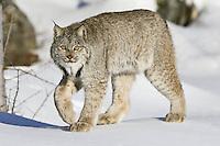 Canada Lynx walking across some snow - CA