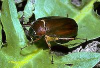 1C08-002z  June Beetle - Phyllophaga spp.