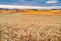 Vast wheat field at sunrise. The Palouse, Washington