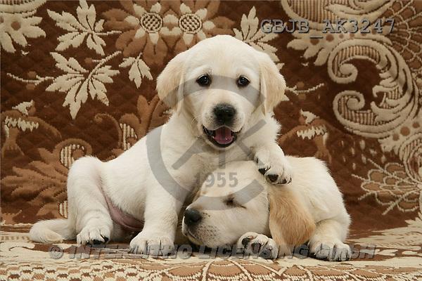 Kim, ANIMALS, dogs, photos, 2 retr.puppies(GBJBAK3247,#A#) Hunde, perros