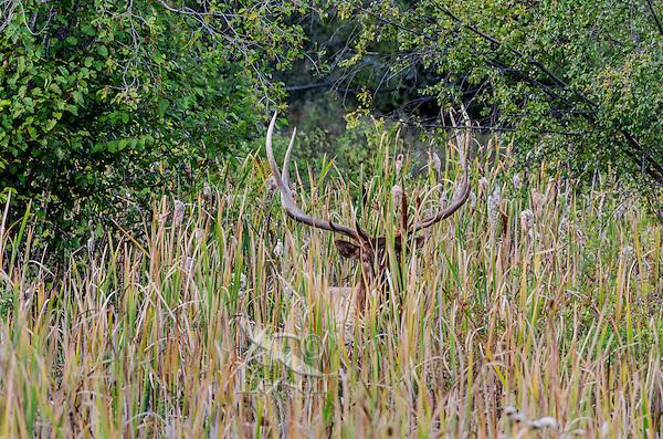 Large Bull Rocky Mountain Elk (Cervus canadensis nelsoni).  Western U.S., fall.