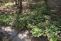 Helleborus under trees in shade garden in flower